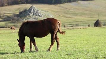braunes Pferd, das friedlich weidet