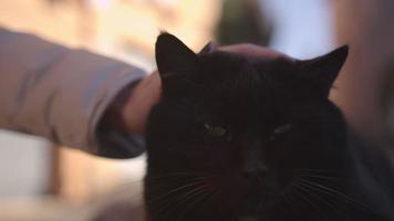 gato preto grande e doce descansando na frente da câmera video