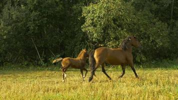 les chevaux courent dans les cercles (ralenti, 96 ips)