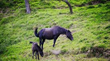 Black horse and foal grazing