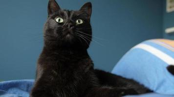 Hermoso gato sentado en la cama, lamiendo y evitando la mano masculina