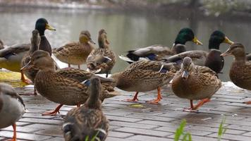 ducks eat bread on the lake 5