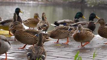 patos comen pan en el lago 5 video
