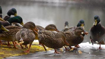 ducks eat bread on the lake 3