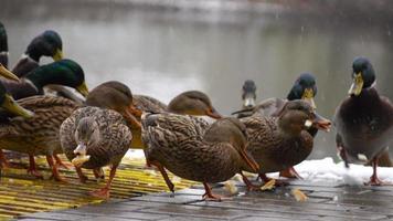 los patos comen pan en el lago 3