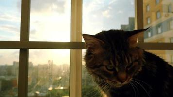 lindo gato maine coon sentado na janela vendo o pôr do sol video