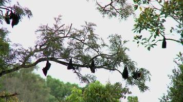Flying Foxes - Bats Resting in Trees During Day