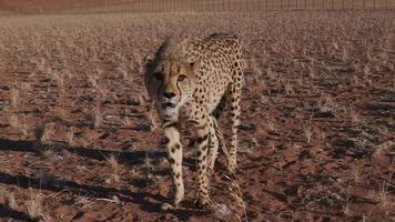 ghepardo che ringhia e guardando verso la telecamera al rallentatore