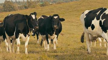 vacas no campo / fazenda de vacas / vacas pastando video