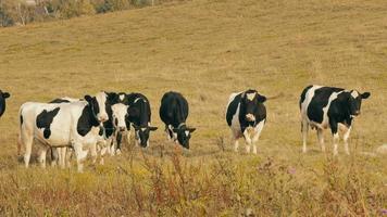 vacas en el campo / granja de vacas / vacas pastando