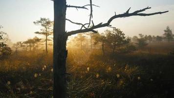 alberi di pino palustri con ragnatele durante l'alba nebbiosa