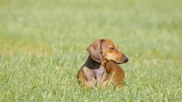 hd - Hund auf dem Rasen