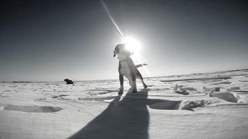 heulender Beagle-Hund auf dem Schneefeld video