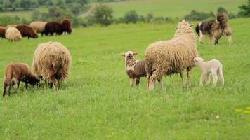 Cordero recién nacido mamando de una oveja