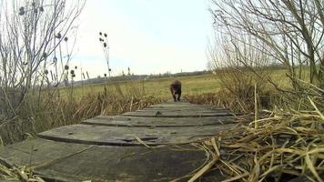 Chocolate labrador retriever marchant sur un petit pont de bois dans la nature