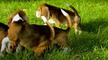 cute Beagle dogs running across the grass summer day. Slow motion video