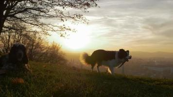 A dog walks on a hill over a city in slowmotion sunset