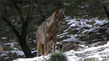 osservando il capo del branco di lupi video