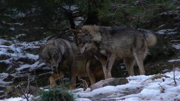 stagione degli amori del lupo iberico video