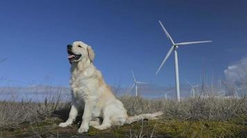 Retriever and windmills. video