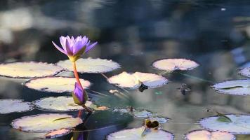 Water lily flower video
