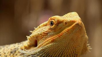 camaleonte giallo video