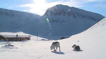 pequeño reno esponjoso que busca comida en la nieve con el telón de fondo de las montañas del norte. longyearbyen, svalbard. video
