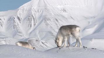 pequeño reno esponjoso que busca comida en la nieve con el telón de fondo de las montañas del norte. video