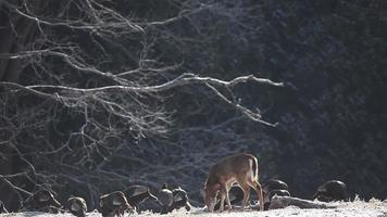 White-tailed Deer and Wild Turkey feeding in the winter