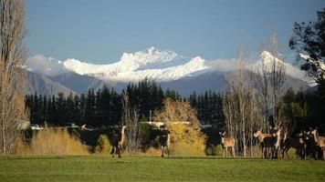 veado em campo com montanhas cobertas de neve
