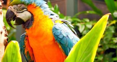 Papagaio de arara 4k de perto, folhagem da selva no poleiro video