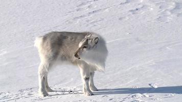 pequeño reno esponjoso en la nieve. longyearbyen, svalbard. video