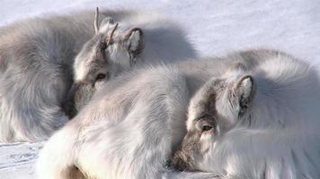 petit renne moelleux couché sur la neige. plus longtemps, svalbard.
