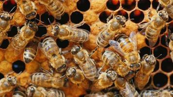 Viele Bienen arbeiten mit Honig und verarbeitetem Pollen am Rahmen