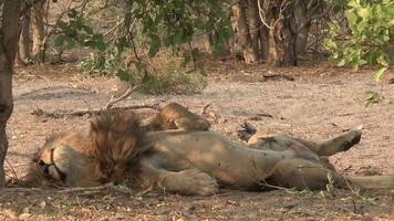 leão macho deitado de costas e dormindo
