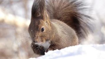 Hokkaido Eichhörnchen Essen essen