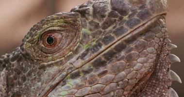 primer plano del ojo de la iguana video
