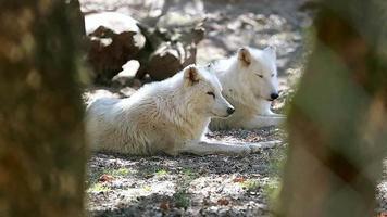 primo piano del lupo artico bianco