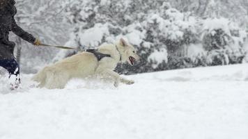 cámara lenta: niña corriendo en la nieve con perro pastor suizo blanco