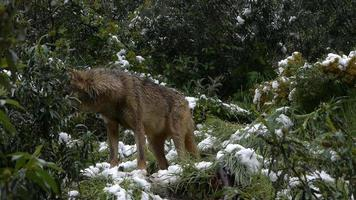 nervöser Wolf im Schnee