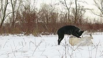 zwei Labrador-Hunde, die in Zeitlupe zusammen spielen