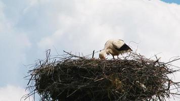 cigüeña solitaria comiendo en el nido