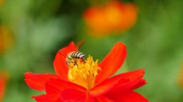 ape che lavora sul fiore. video