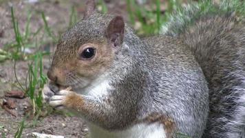 grå ekorre som äter från sina tassar. video