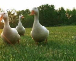Curious Ducks