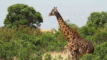 jirafa en masai mara