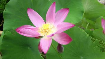 Pink lotus flower in gentle wind