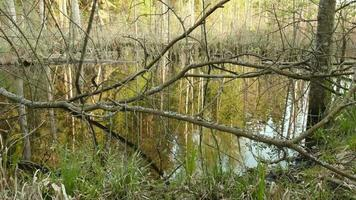 Tree branches in pond in forest. Smooth slider shot. Clean and bright daytime.