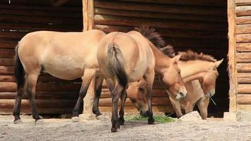 przewalski Pferde. Equus Caballus video