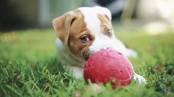 niedlicher Welpe, der Gras isst und mit Ball spielt. amerikanische Bulldogge